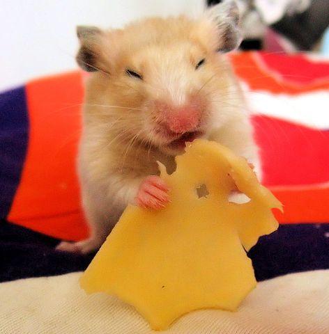 aranyhörcsög, hörcsög, sajt