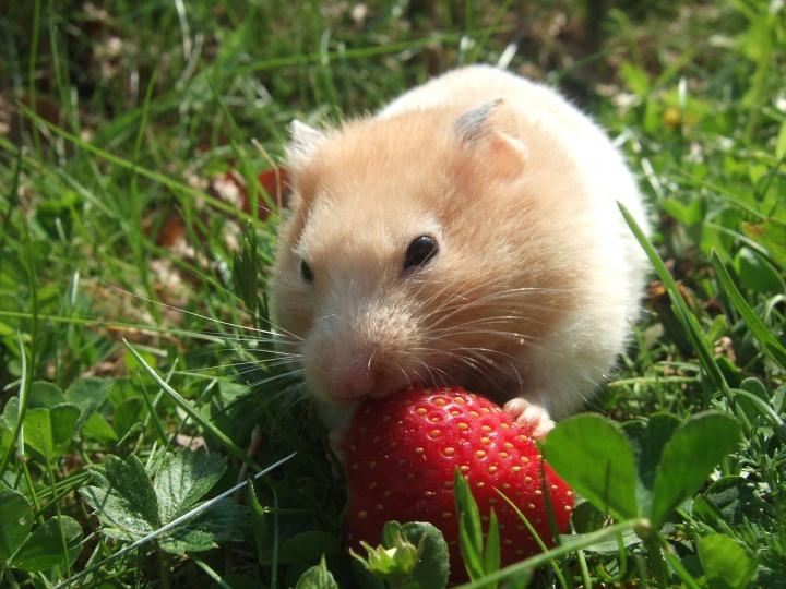 hamster-727293_1280