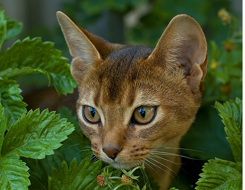 macska, abesszin macska, cica