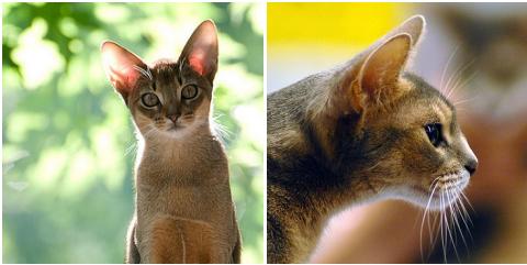 macska, abesszin macska, cic