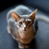 Abesszin macska, a miniatűr puma