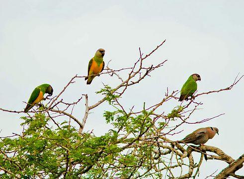 szenegali-papagajok
