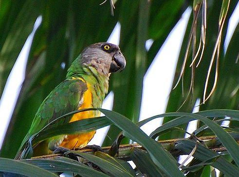 szenegali-papagaj-kep