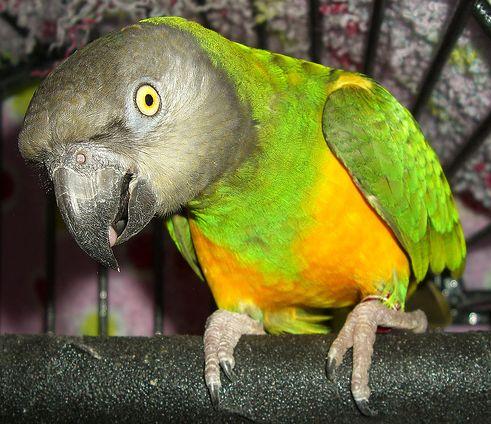 szenegali-papagaj-foto