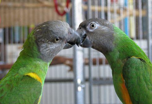 ket-szenegali-papagaj