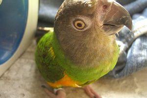 A szenegáli papagáj szeretetreméltó és bájos madár
