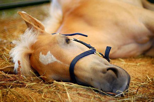 ló, lovak, fekszik