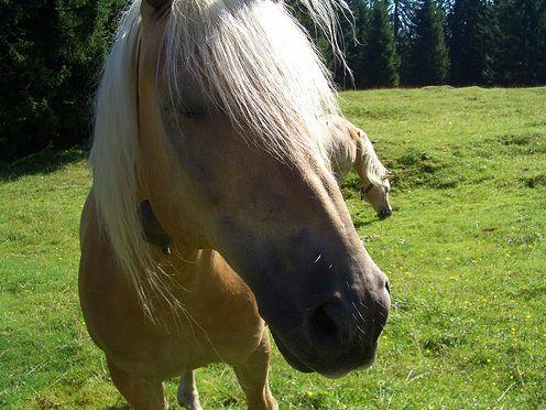 ló, ménes, lovak