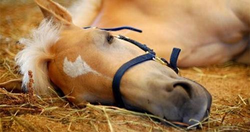 Miért alszanak állva a lovak, ha le tudnak feküdni?