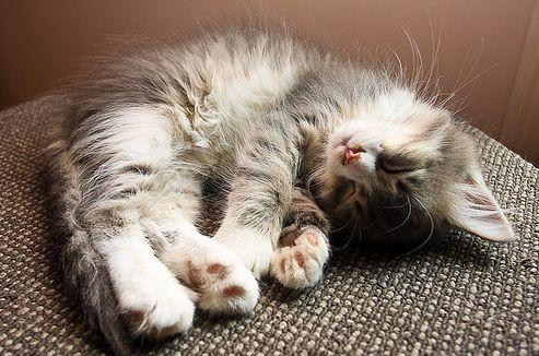 szibéria, macska, visszafogott