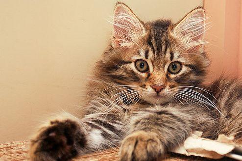 szibériai macska, cica, macskafajták
