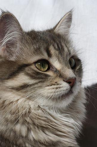 macska, allergia, macskaszőr