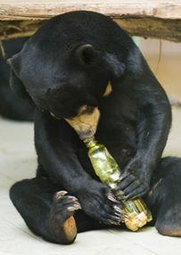 medve, maláj medve, állatkert