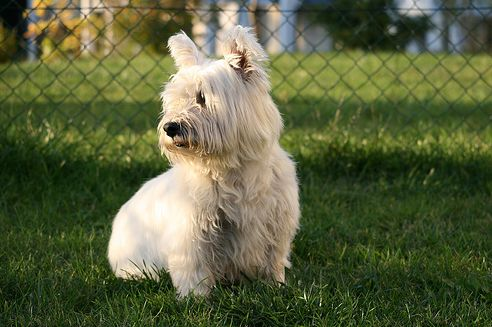 west highland white terrier, westie, kutya