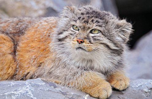 vasmacska, pusztai macska, bagoly