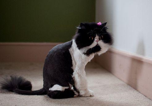 perzsa macska, modern, fodrászat