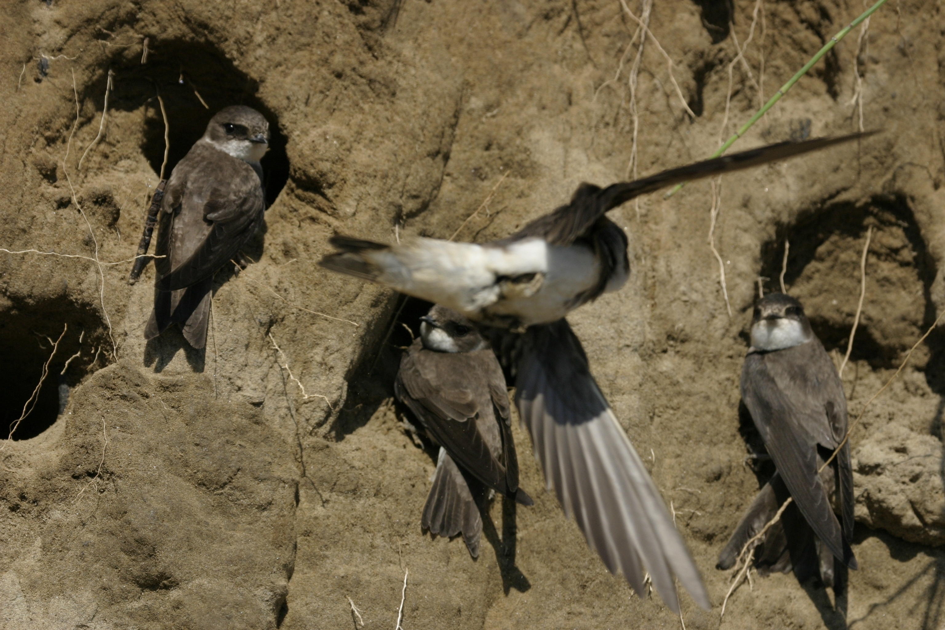 fecske, madár, madaras