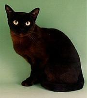 macska, cica, burma macska