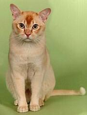 macska, vörös macska, burma macska