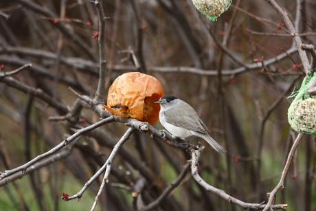 madár, madáretető, poszáta