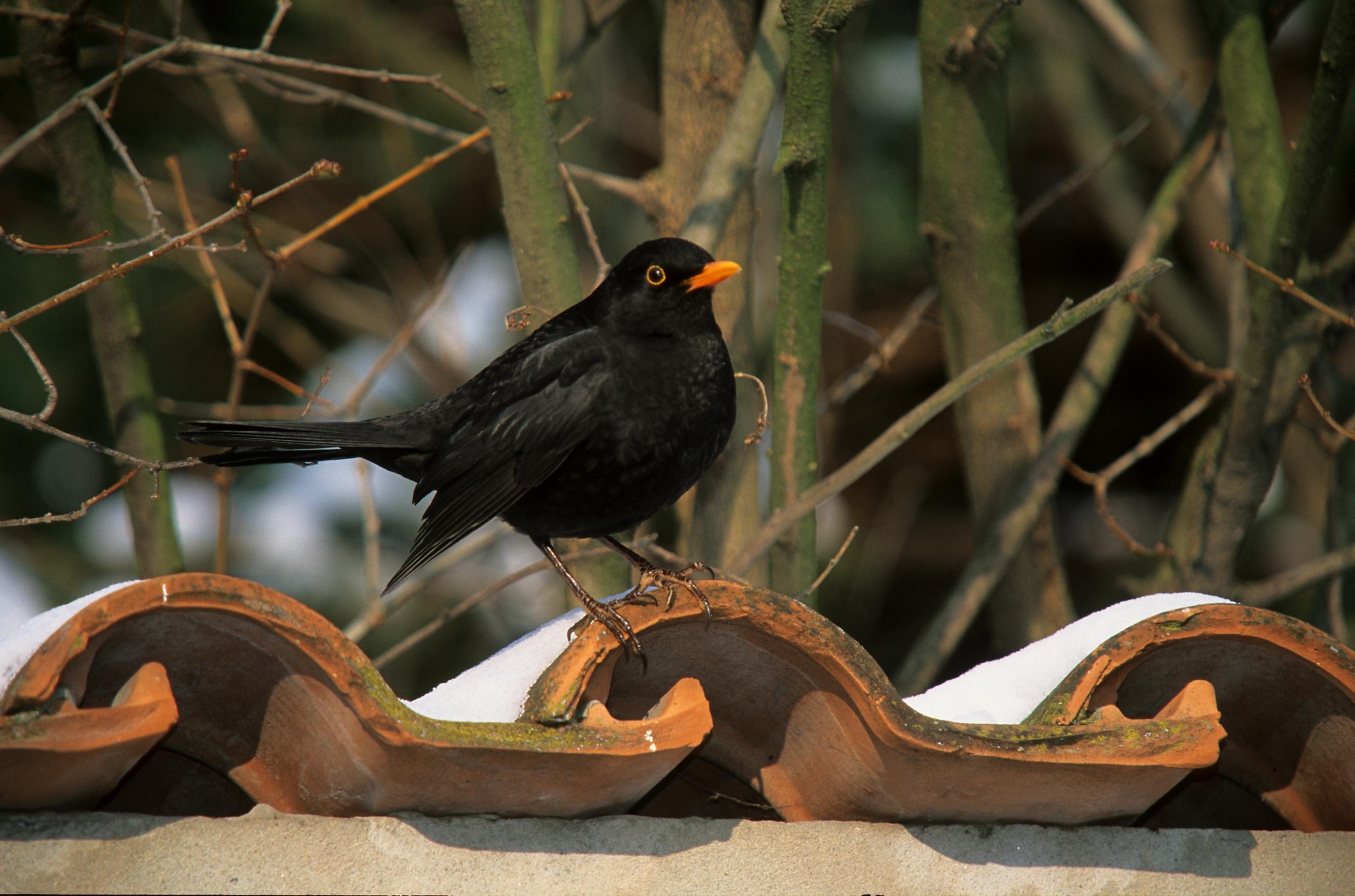 madáretető, madár, rigó