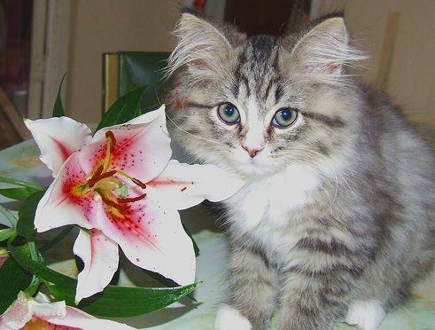 liliom, virág, cica