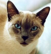 sziámi, macska, macskafajták