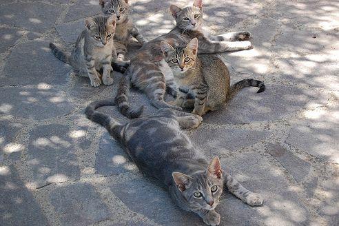 cica-tenyeszto