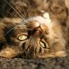 Tenyésztői program a macskák policisztás vesebetegsége ellen