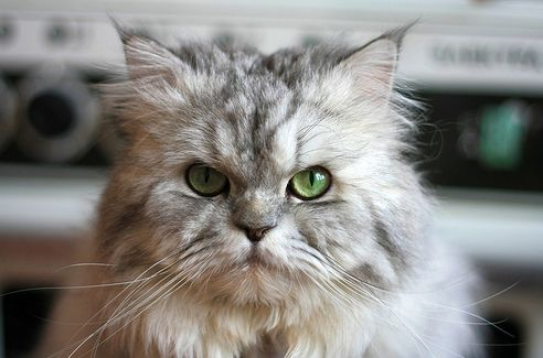 perzsa-cica