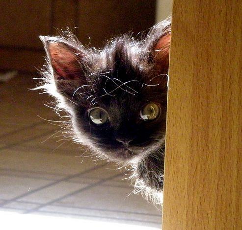 perzsa-kiscicak