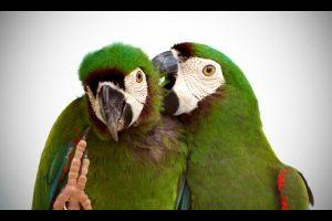 Miért tépi ki a madár a tollait?