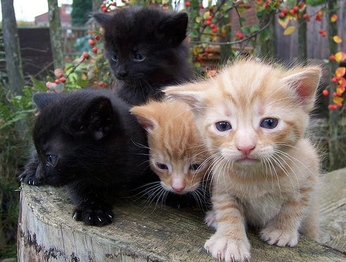 kis cica, kiscica, kölyök