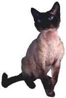 Rex macska: a mutáns cicó