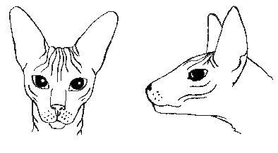 peterbald, szfinx, macska
