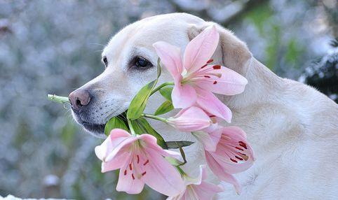 kutya-virag
