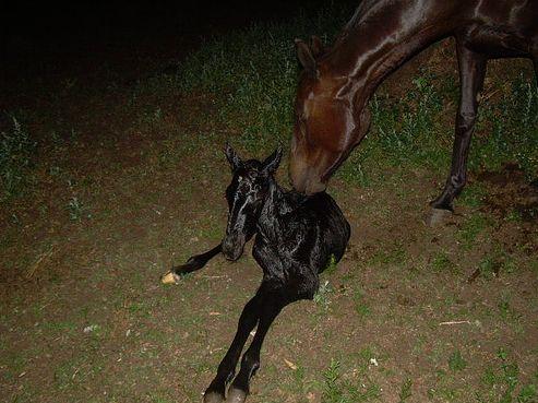 ló, csikó, születés