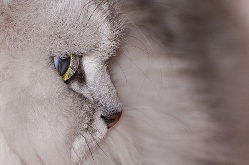 perzsa macska, cica
