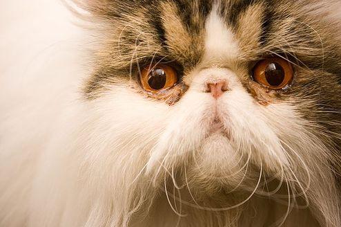 perzsa macska, cica, standard