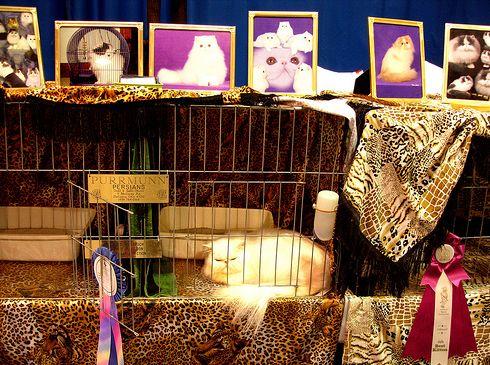 perzsa, macska, díjazott