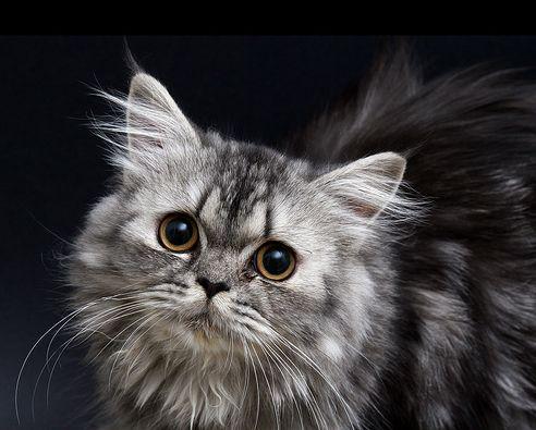 ezüst, perzsa macska, cica