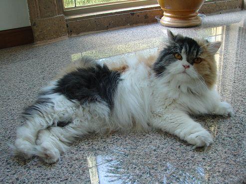 calico, perzsa macska, cica