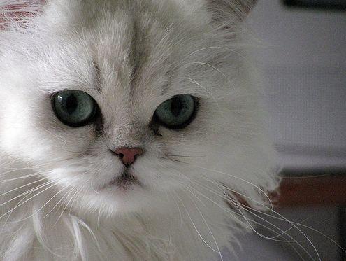 csincsilla, perzsa, macska