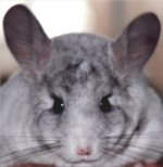csincsilla-profil