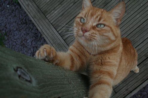 macska, karom, kapar