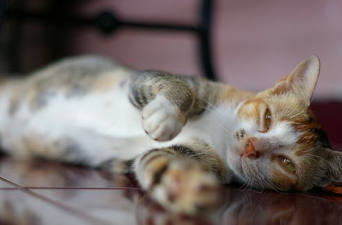 macska, kapar, karmol