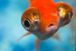 Hétfőtől tilos az  aranyhalakat gömbakváriumban tartani