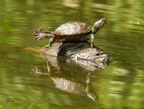 teknős, ékszerteknős, napozik