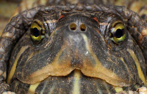 teknős, ékszerteknős, fej