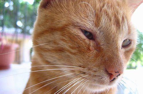 macska, beteg, szem
